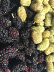 4th Place: Mulberries Of Unknown Varieties From A Park Next To The Colorado River Alana Lyn  Stern  Bullhead City, AZ.
