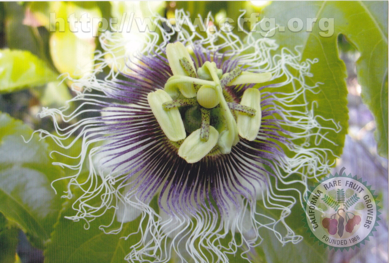 Frederick Passion Fruit Flower