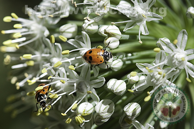lady-bug-on onion head-8192