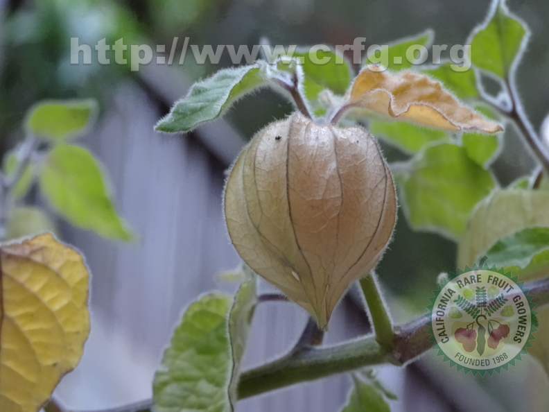 Third Place: Physalis Peruviana Cape Gooseberry