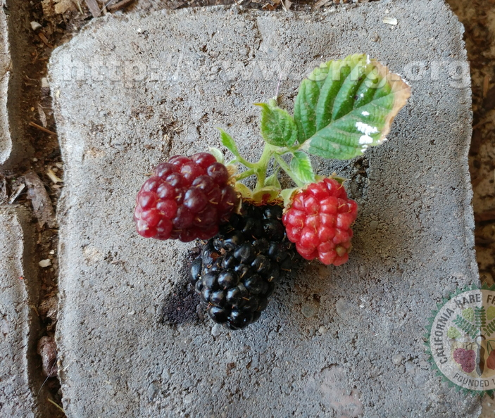 Third Place: Olallie Blackberries at Various Stages of Ripeness Jackie Akhurst  Mesa, Az.