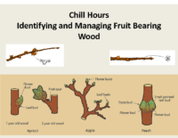 Chill Hours and Identifying Fruiting Wood Presentation