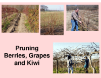 Pruning Berries Grapes and Kiwi Presentation