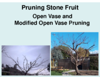 Pruning Stone Fruit Presentation